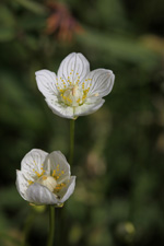 parnassia-palustris